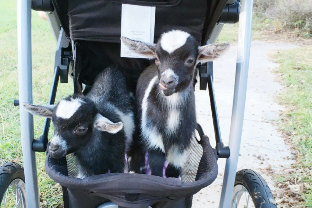 Parenthood Lessons from Goats & Kittens