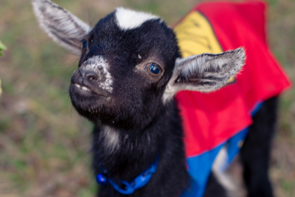 Baby Goats Dress up for Halloween