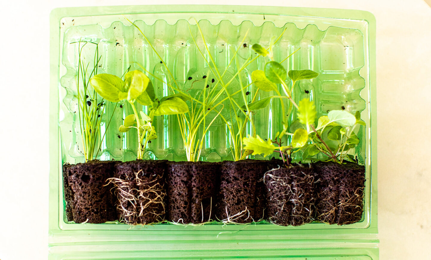 easy hydroponic garden, featured by top Atlanta lifestyle blogger, Moderately High Maintenance | Hydroponic Garden by popular Atlanta lifestyle blog, Moderately High Maintenance: image of seedlings in a green plastic container.